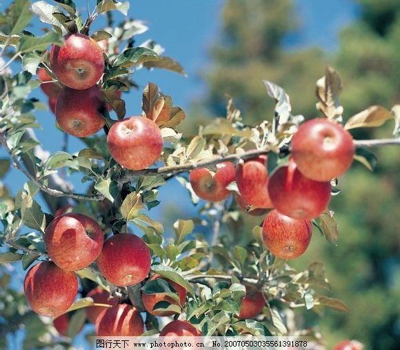 苹果树 水果树 苹果 果园 红苹果 动物植物 水果 果树果园 摄影图