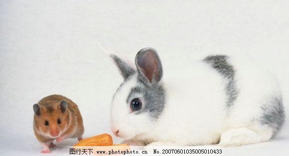宠物鼠和兔子 鼠类 生物世界 野生动物 老鼠 摄影图库 350dpi
