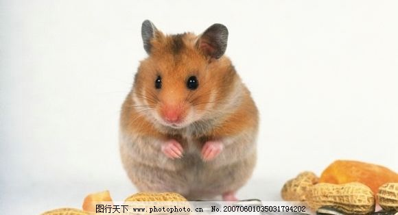 老鼠和食物 鼠类 宠物鼠 花生 瓜子 生物世界 野生动物 老鼠 摄影图库