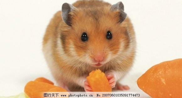老鼠吃红萝卜 鼠类 宠物鼠 生物世界 野生动物 老鼠 摄影图库 350dpi
