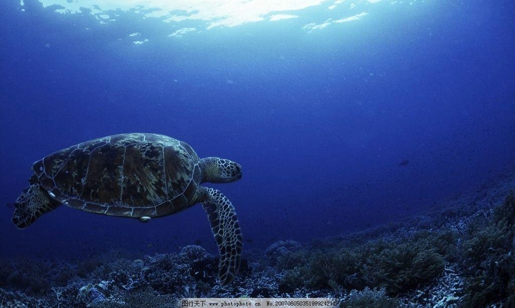 大海龟 海底世界 海洋 深海 龟类 乌龟 蓝色海洋 生物世界 海洋生物