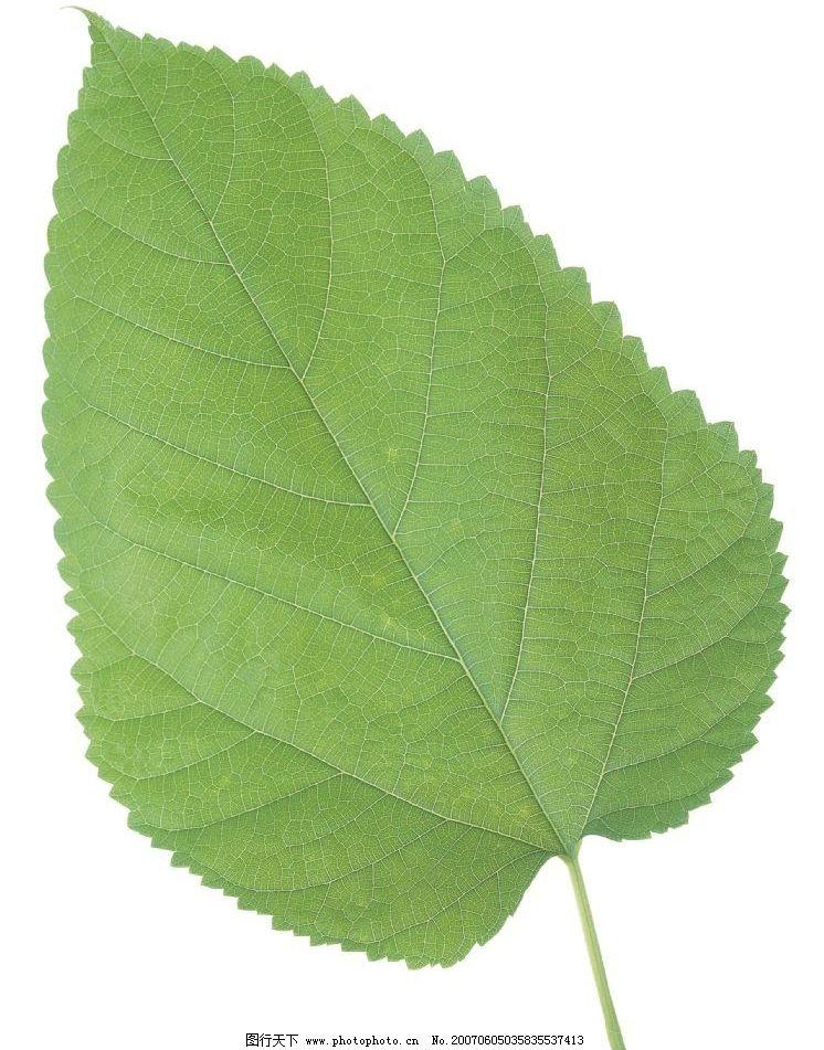 桑树叶图片图片
