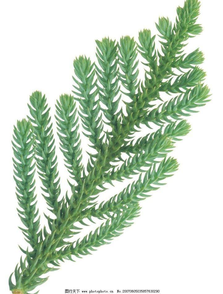 杉树叶子图片