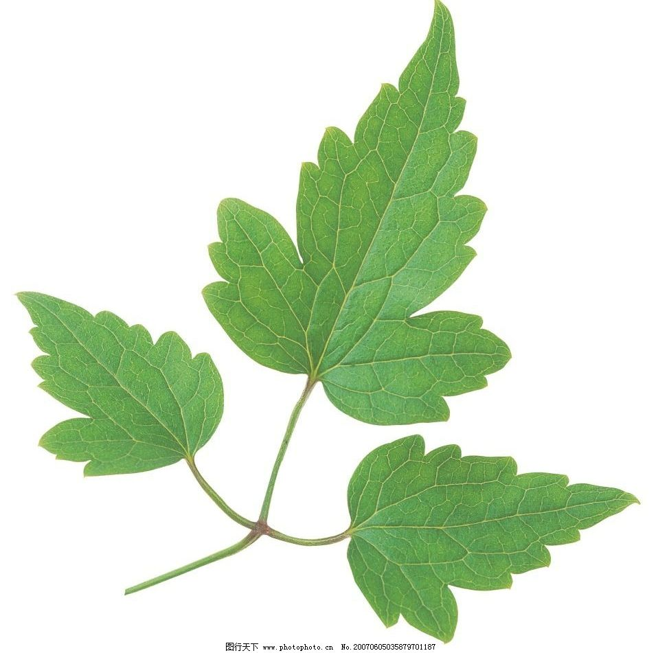 绿色树叶 生物 植物 自然 树叶子 叶子 绿叶 生物世界 树木 植物叶子