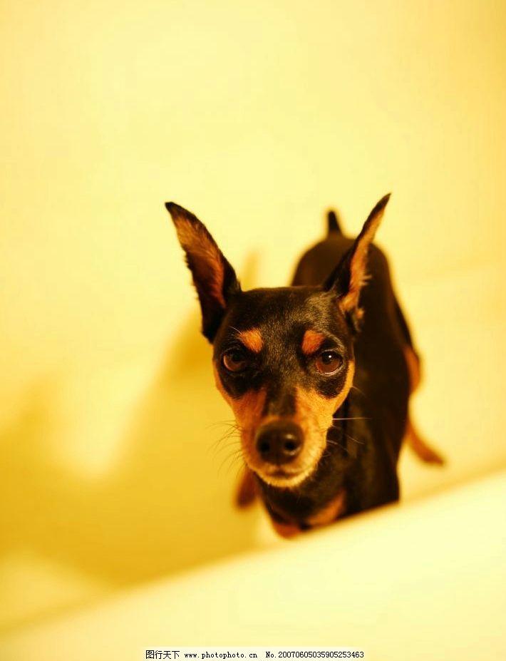 宠物犬 犬类 宠物狗 动物 狗的图片 户外 名犬 摄影图库