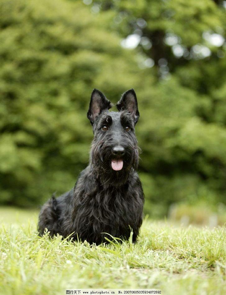绿草地上黑色牧羊犬 犬类 宠物狗 动物 狗的图片 生物世界 家禽家畜