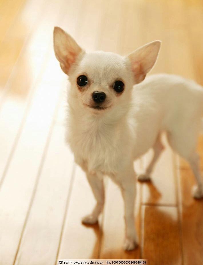 白色吉娃娃 犬类 宠物狗 动物 狗的图片 名犬 摄影图库