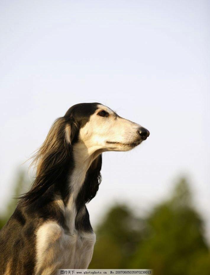 牧羊犬 犬类 宠物狗 动物 狗的图片 远眺 生物世界 家禽家畜 摄影图库