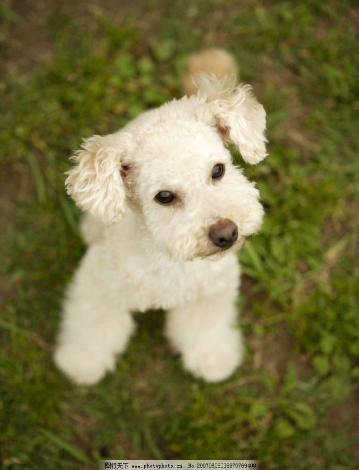 绿草地上的卷毛小狗 犬类 宠物狗 动物 白毛小狗 狗的图片 摄影图库