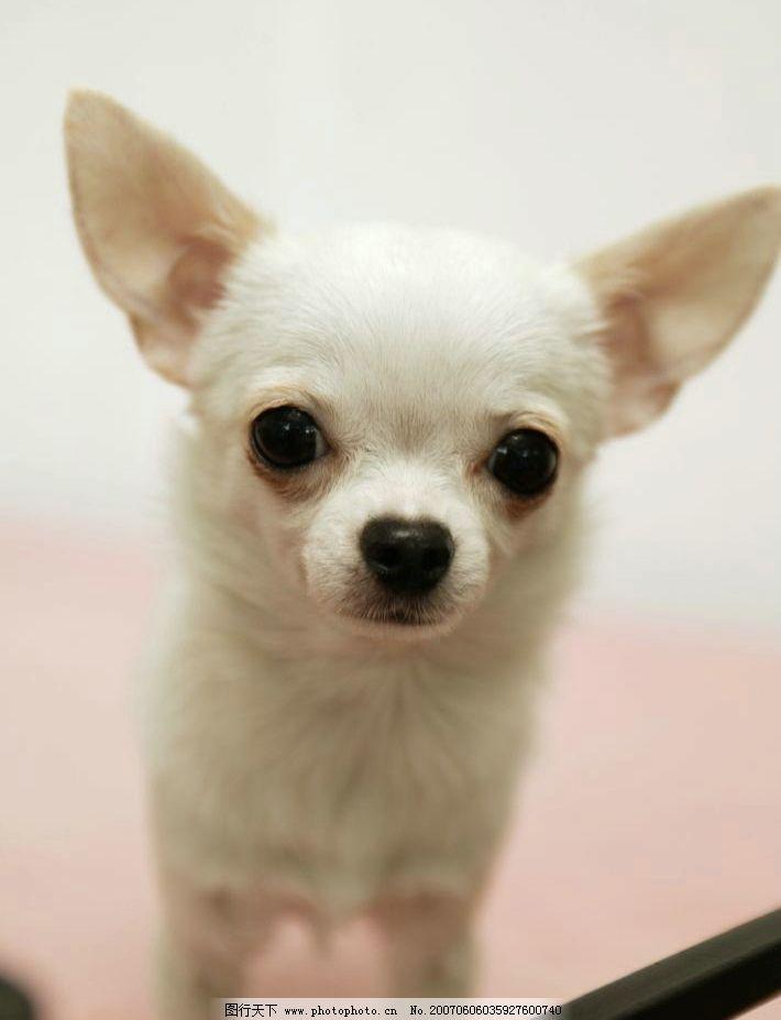 白色吉娃娃 犬类 宠物狗 动物 狗的图片 名犬 生物世界 家禽家畜 摄影