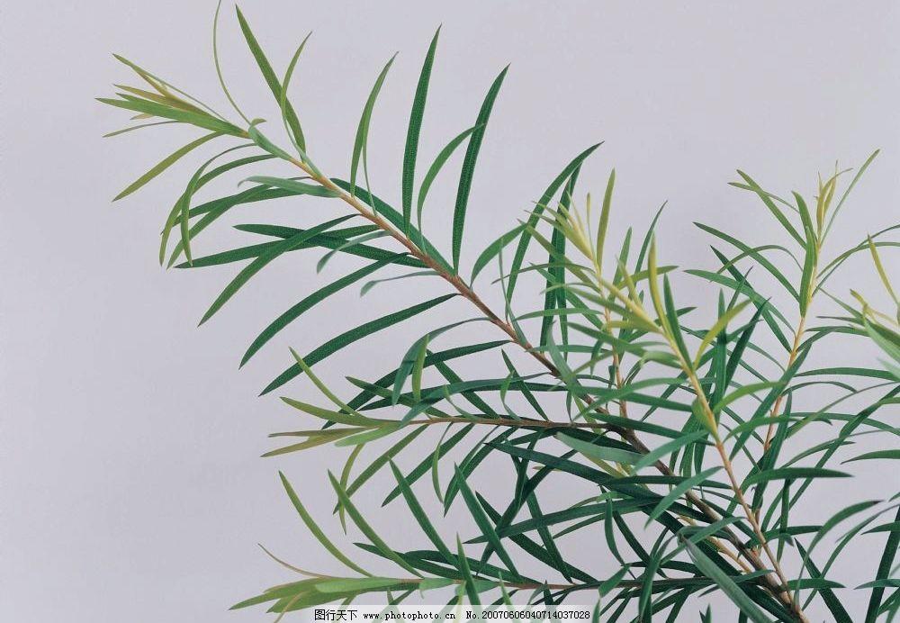 植物叶子图片