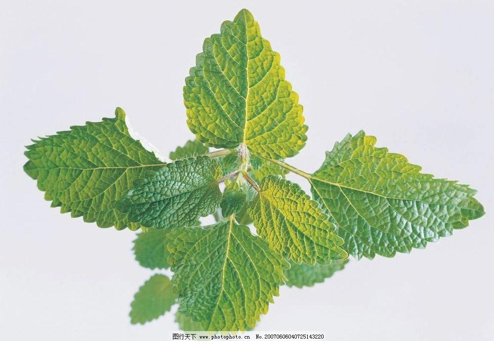 薄荷叶子 中草药 植物 叶子 餐饮美食 其他 花草茶 摄影图库 350dpi
