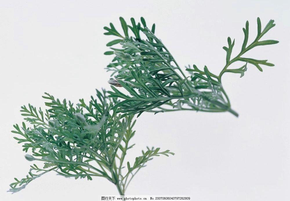 植物茶叶子图片