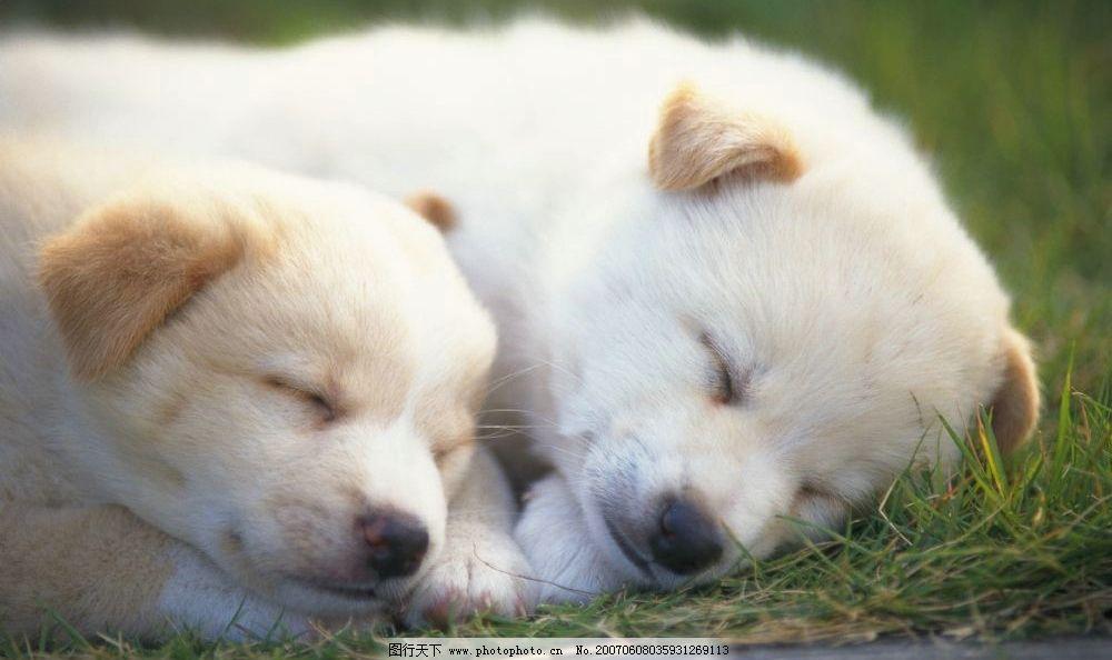 美梦中的两只小狗 宠物狗