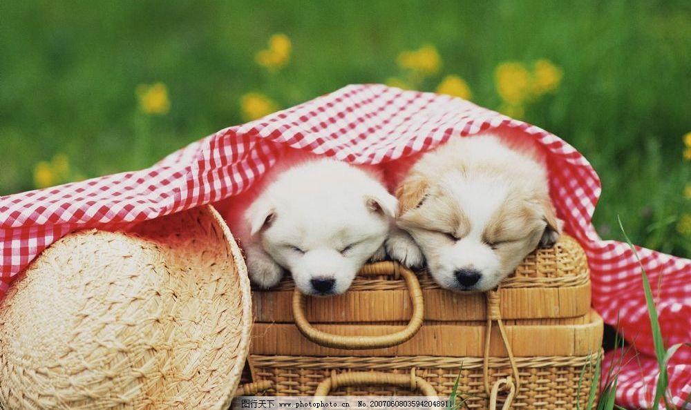 两只小狗 动物亲情 亲密的小狗 熟睡 睡觉 生物世界 家禽家畜 可爱的