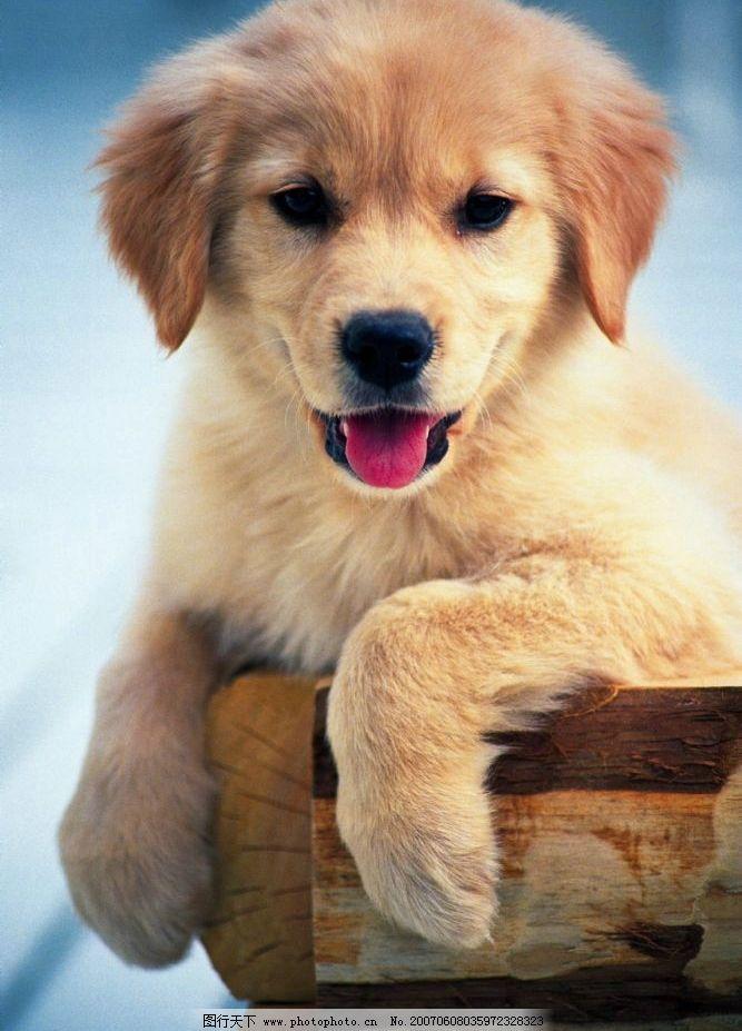 动物 黄毛小狗 小狗的图片 土狗 生物世界 家禽家畜 可爱的居家小狗