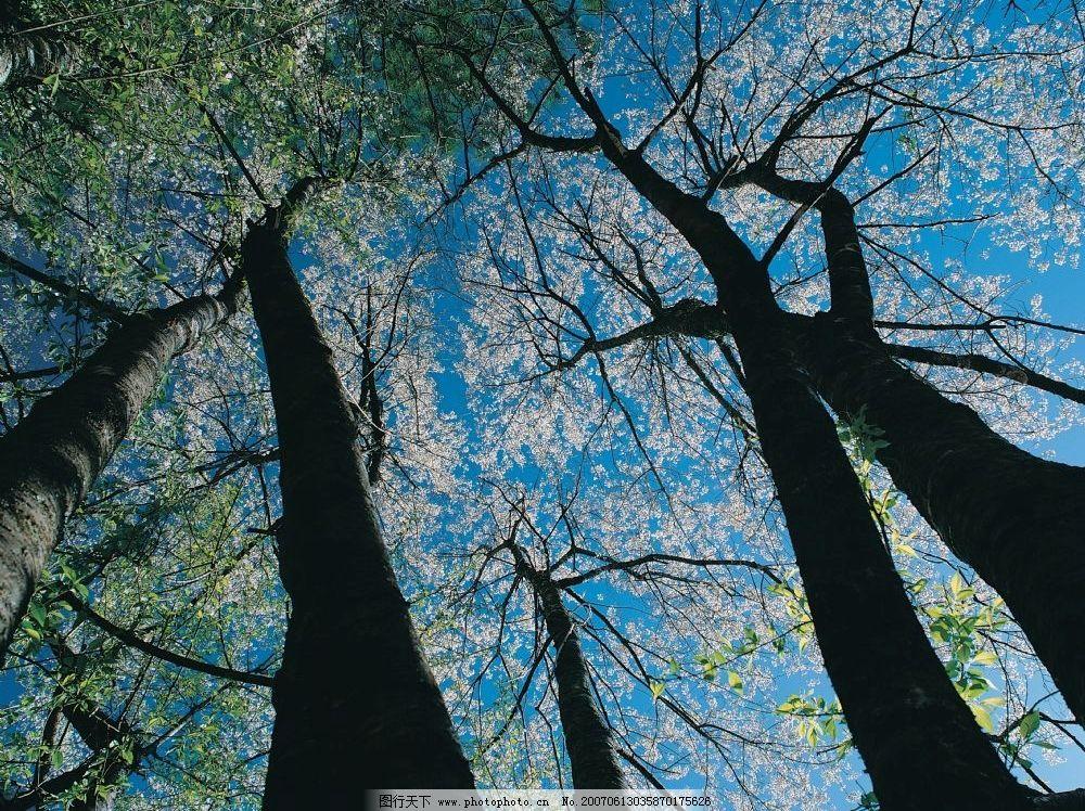 参天大树 森林 古老树木