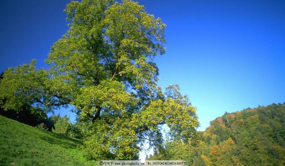 山坡大树 高山 大树 树木 蓝色天空 田园 自然景观 自然风景 绿意盎然